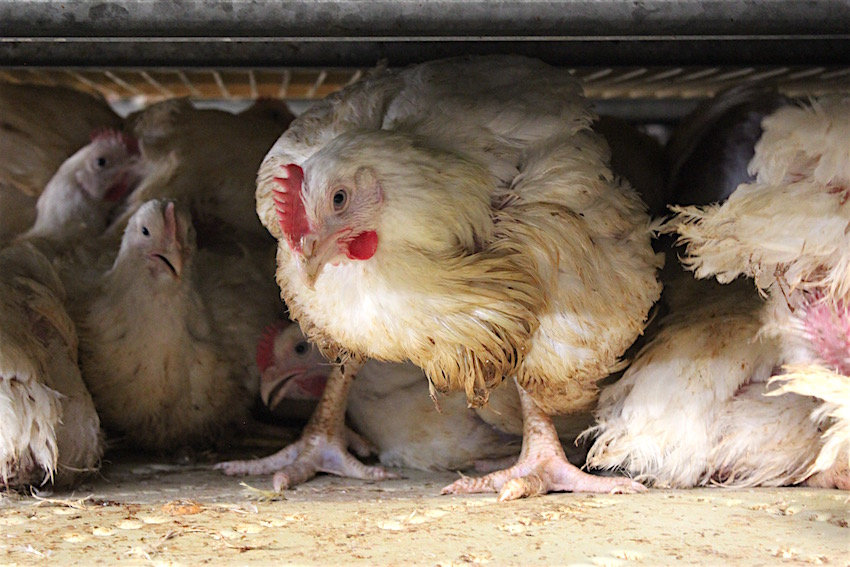 Deze kip heeft nog de kracht op haar poten te staan.
