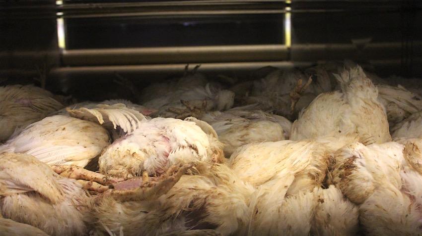 CO2-bedwelmde kippen, levenloos aan het einde van de aanvoertunnel.